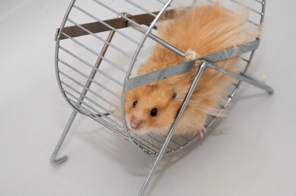 Golden hamster running in a wheel, depicting the concept of habit