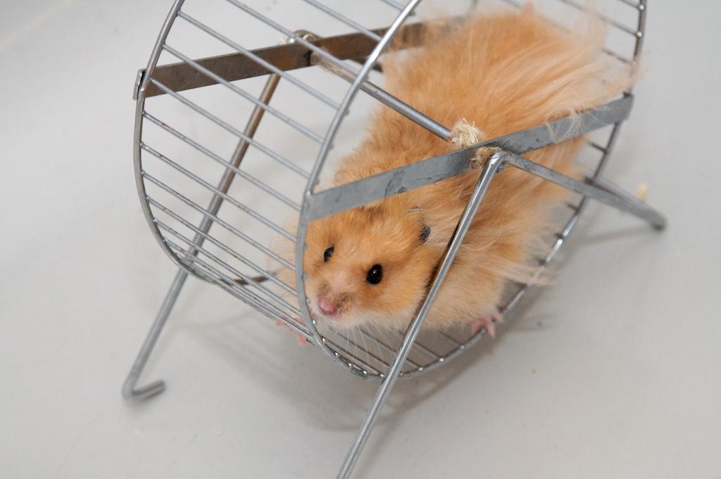 Golden hamster running in a wheel, depicting the concept of habit
